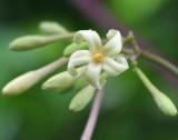 male papaya flower