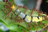 weaver ants attacking caterpillar