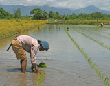 planting a row of rice using string as a guide