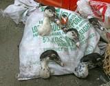 Live ducks in a bag