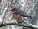 blue_birds_2006