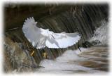louisiana_egrets2006