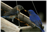 blue_birds-2007