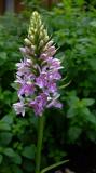 Joanna's Wild Orchid