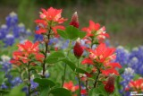 Indian Paintbrushes with Bluebonnets