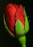 Vivid red rose