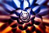 Succulent radiating