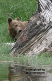 Grizzly Bears of Knight Inlet 2007
