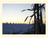 Corn in Cold Wind