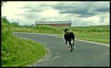 Run with the Bull