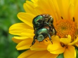 Japanese Beetles 2