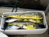 Lots of Mahi Mahi