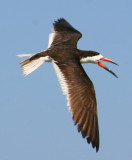 Skimmer Wing Span