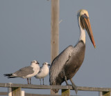 Brown Pelican and Friends