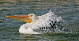 White Pelican Splash