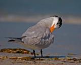 Caspian Tern Scratching an Itch