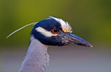 Condos Reflected in the Eye of a Yellow Crowned Night Heron