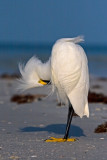 Rum Runner After a Hard Night (Snowy Egret)