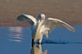 Focus! (Reddish Egret White Morph)
