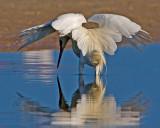 Matador's Cape (Reddish Egret White Morph)