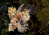 _MG_6569 Lionfish