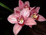 Priscilla's Orchids