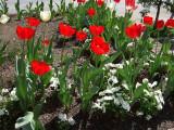 DSCF3081 Tulip Town