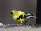 _MG_0236Goldfinch