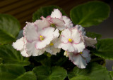 IMG_0010 African Violet