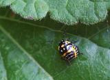 DSCF3519 Tiny Beetle