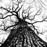 Tall Oak!