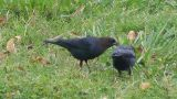 BB, Cowbirds Brown Headed 10-06.jpg