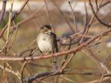 Sparrow White Th 12-06a.JPG