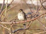 Sparrow WHite Th 12-06c.JPG