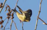 Finch Am Goldfinch In Flight 12-06.jpg