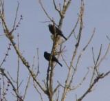 Blackbird rusty 2-07 Dismal Swamp f.JPG