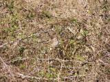 Sparrow Song ES VA 02-07 a.JPG