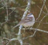 Sparrow Chipping GA 4-07.JPG