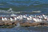 Caspian Terns at Sheboygan, WI