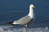 Herring Gull at Racine, WI