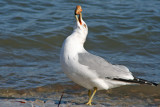 Ring-billed Gull, Milw.