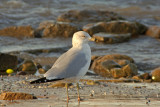 Ring-billed Gull at Sheboygan, WI