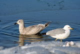 Thayers and Ring-billed Gull at Racine, WI