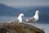 Glaucous-winged Gull, Anacourtes, WA