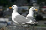 Glaucous-winged Gulls, Anacourtes, WA