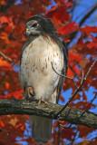 Red-tail Hawk at Brown Deer Park, Milw.