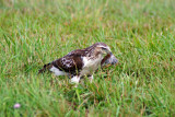 Red-tail Hawk with prey. Ozaukee Co, WI