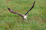 Red-tail Hawk taking off. Ozaukee Co, WI