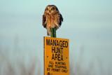 Short-eared Owl at Bong Rec. Area, WI