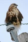 Rough-legged Hawk at Horicon Marsh, WI